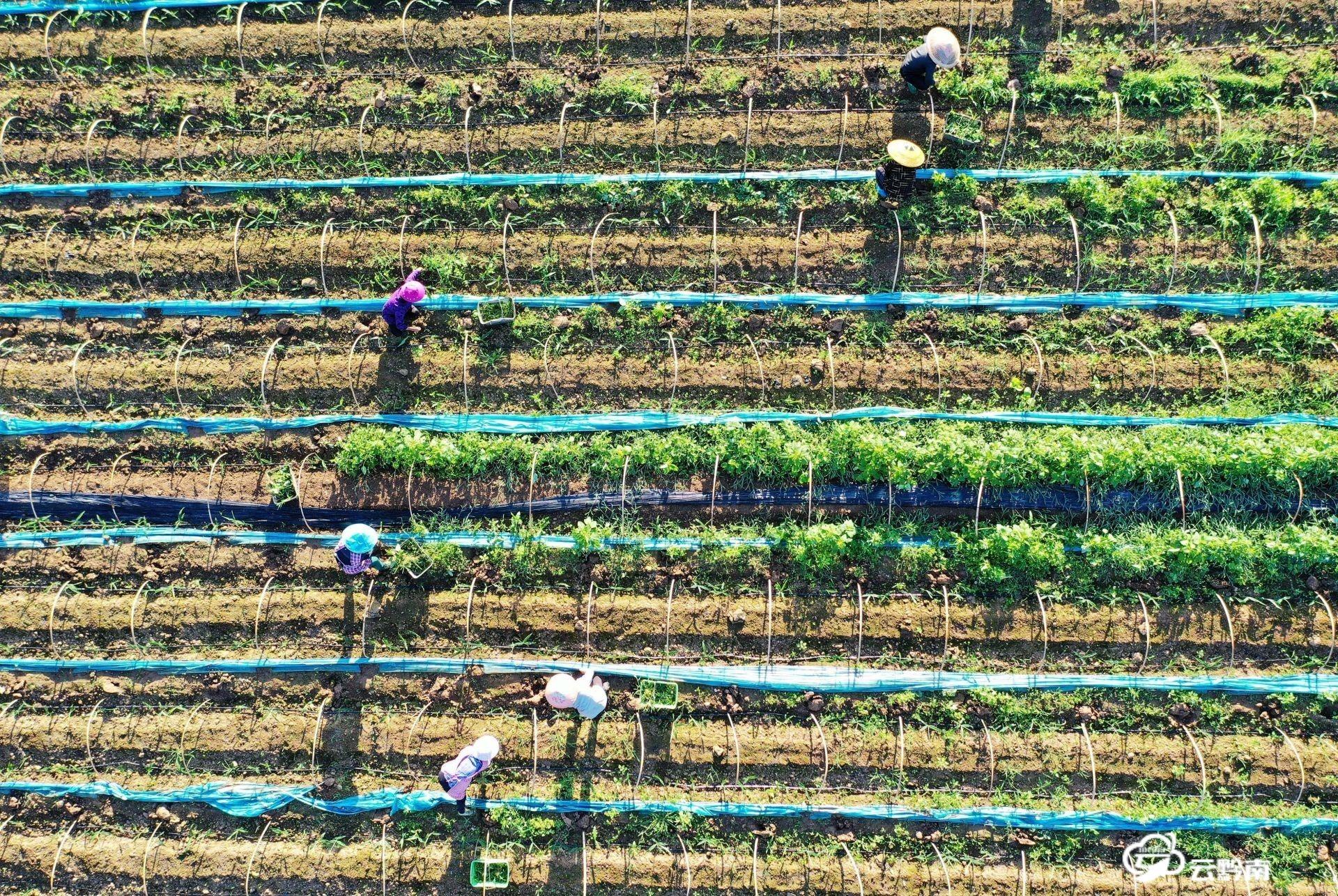 福泉:芒种时节农管忙