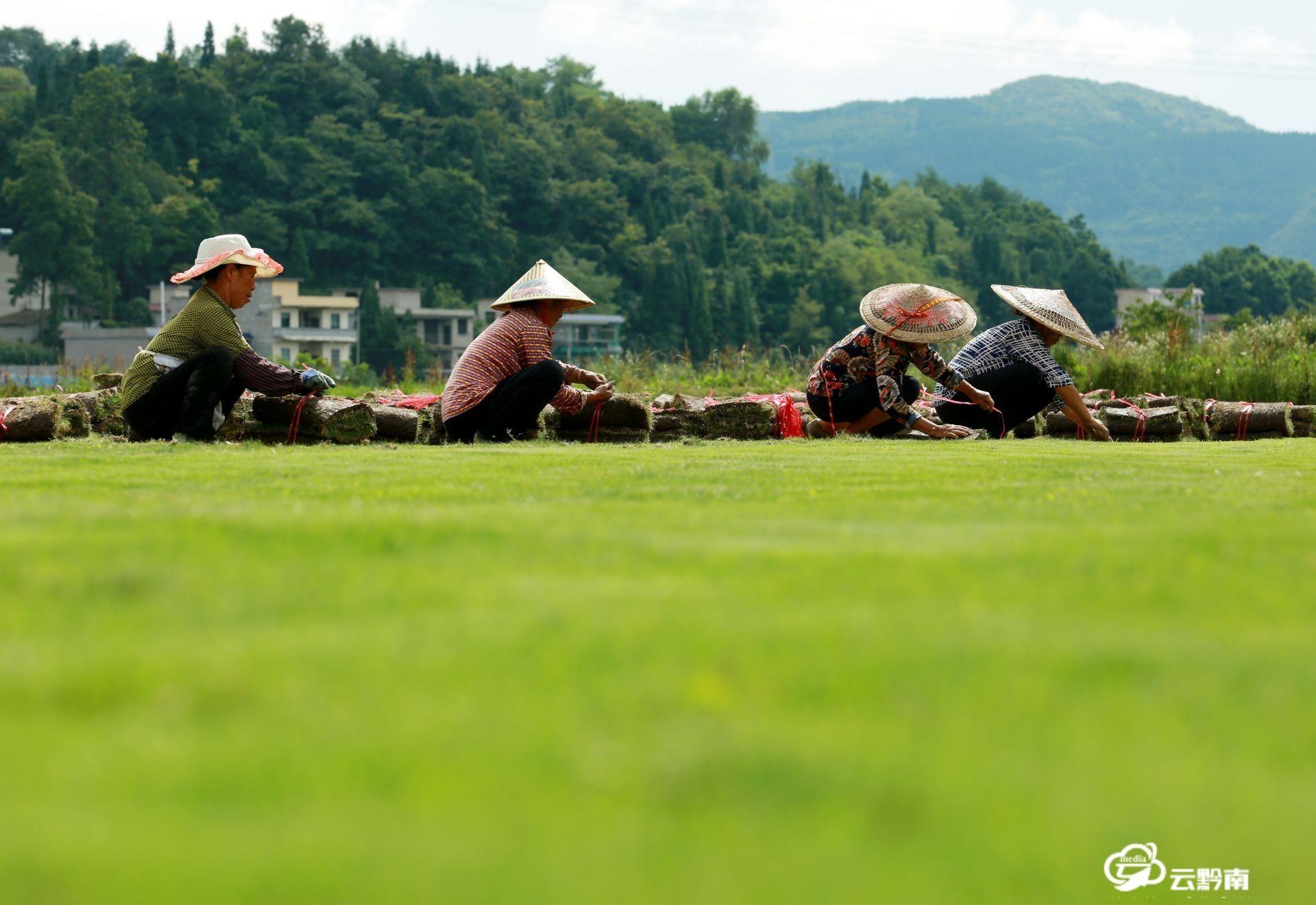 福泉:绿草皮铺就致富路