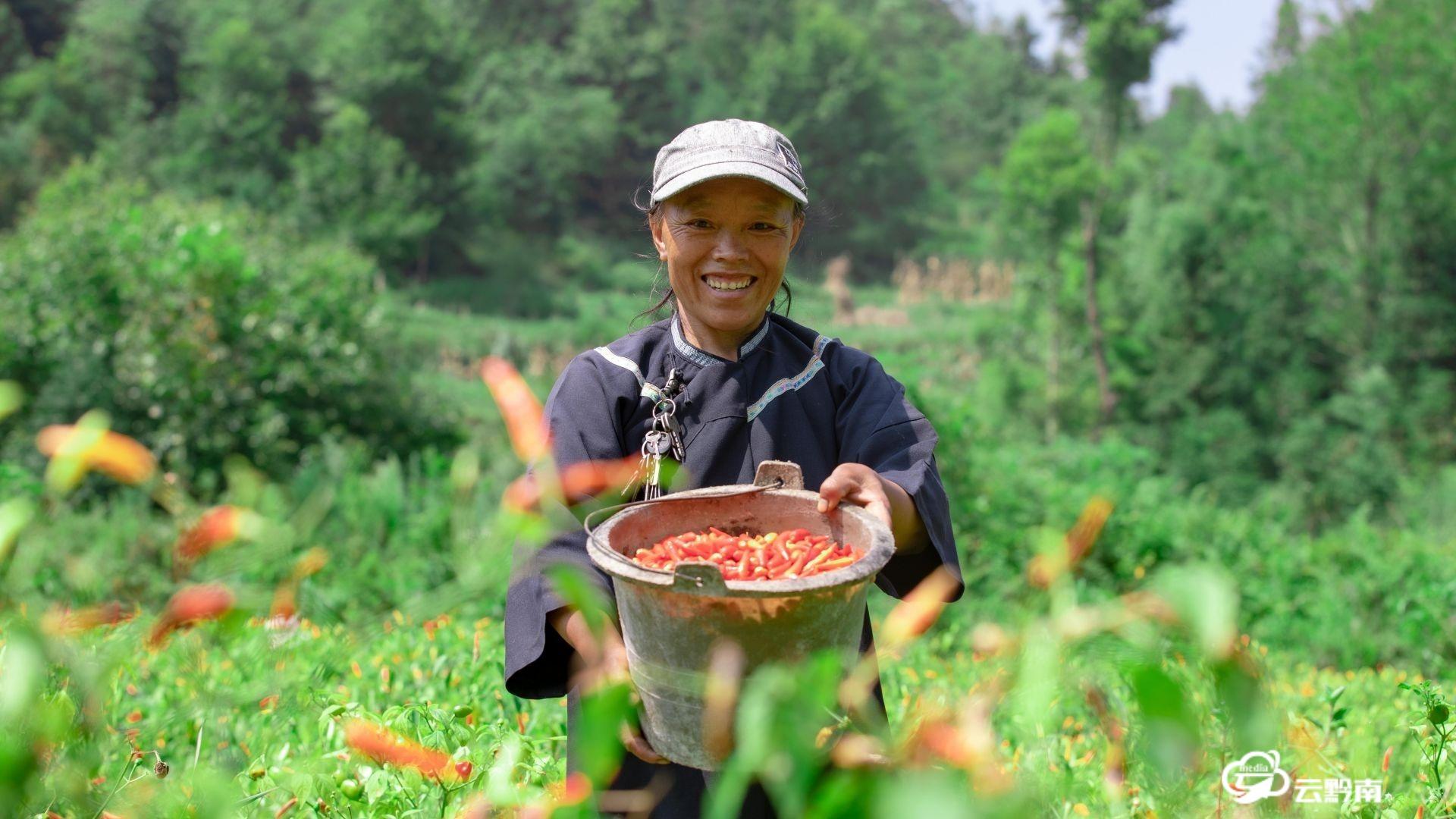 长顺:花椒树下种辣椒 以短养长助农户笑